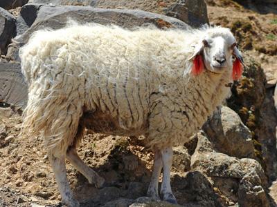 woolhearding